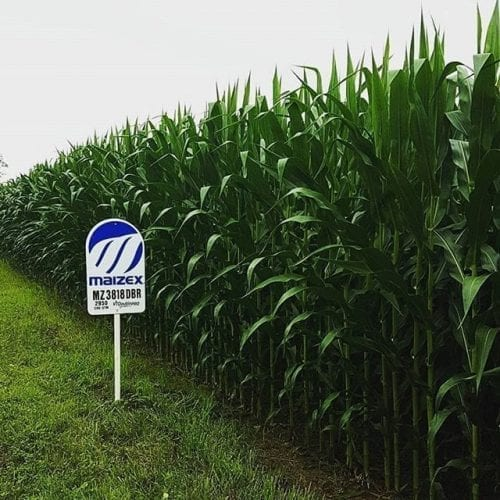 maizex affiche dans le champs
